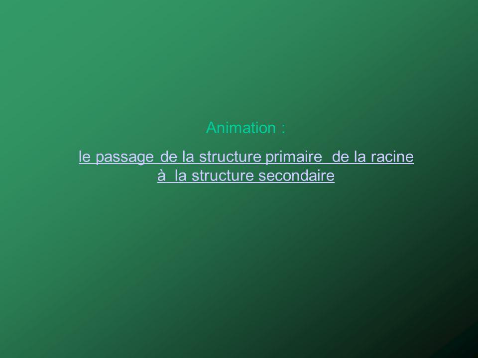Animation : le passage de la structure primaire de la racine à la structure secondaire