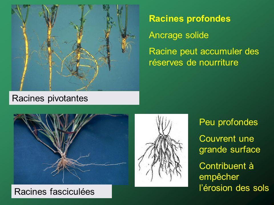 Racines profondes Ancrage solide Racine peut accumuler des réserves de nourriture Racines pivotantes Racines fasciculées Peu profondes Couvrent une gr
