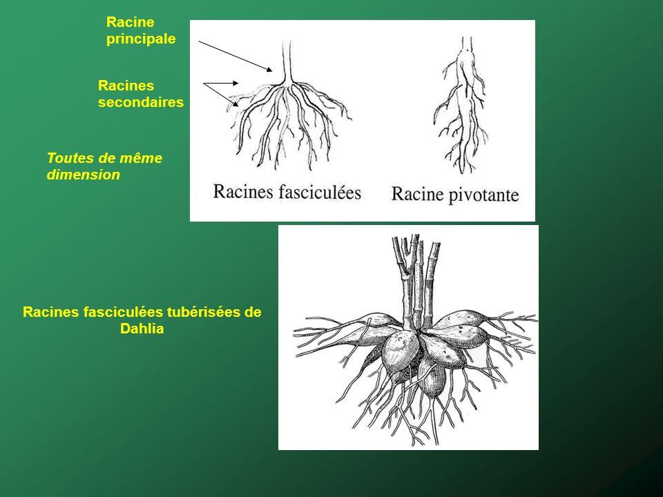 Racines fasciculées tubérisées de Dahlia Toutes de même dimension Racine principale Racines secondaires