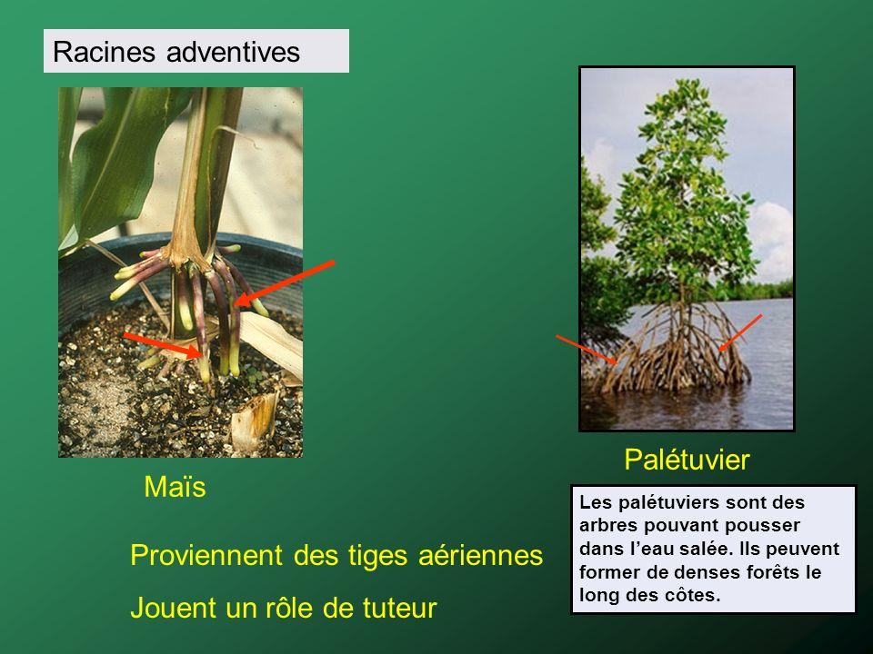 Racines adventives Maïs Palétuvier Proviennent des tiges aériennes Jouent un rôle de tuteur Les palétuviers sont des arbres pouvant pousser dans leau
