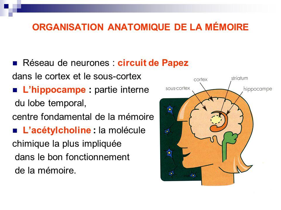 ORGANISATION ANATOMIQUE DE LA MÉMOIRE Réseau de neurones : circuit de Papez dans le cortex et le sous-cortex Lhippocampe : partie interne du lobe temp