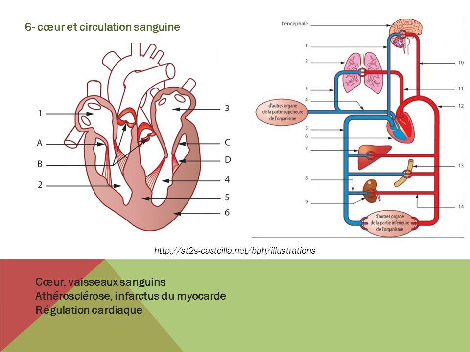 6- cœur et circulation sanguine Cœur, vaisseaux sanguins Athérosclérose, infarctus du myocarde Régulation cardiaque http://st2s-casteilla.net/bph/illu