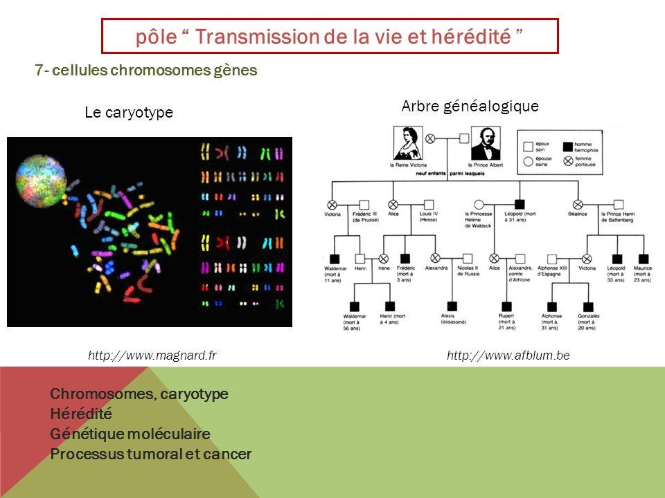 pôle Transmission de la vie et hérédité 7- cellules chromosomes gènes http://www.magnard.fr Le caryotype Arbre généalogique Chromosomes, caryotype Hér