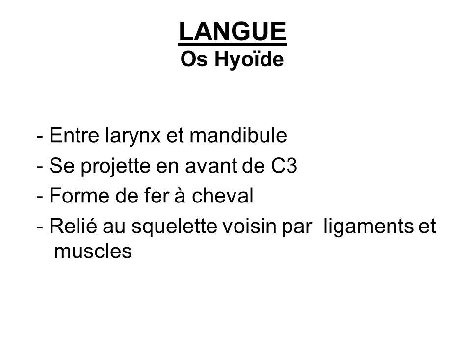 LANGUE Os Hyoïde - Entre larynx et mandibule - Se projette en avant de C3 - Forme de fer à cheval - Relié au squelette voisin par ligaments et muscles
