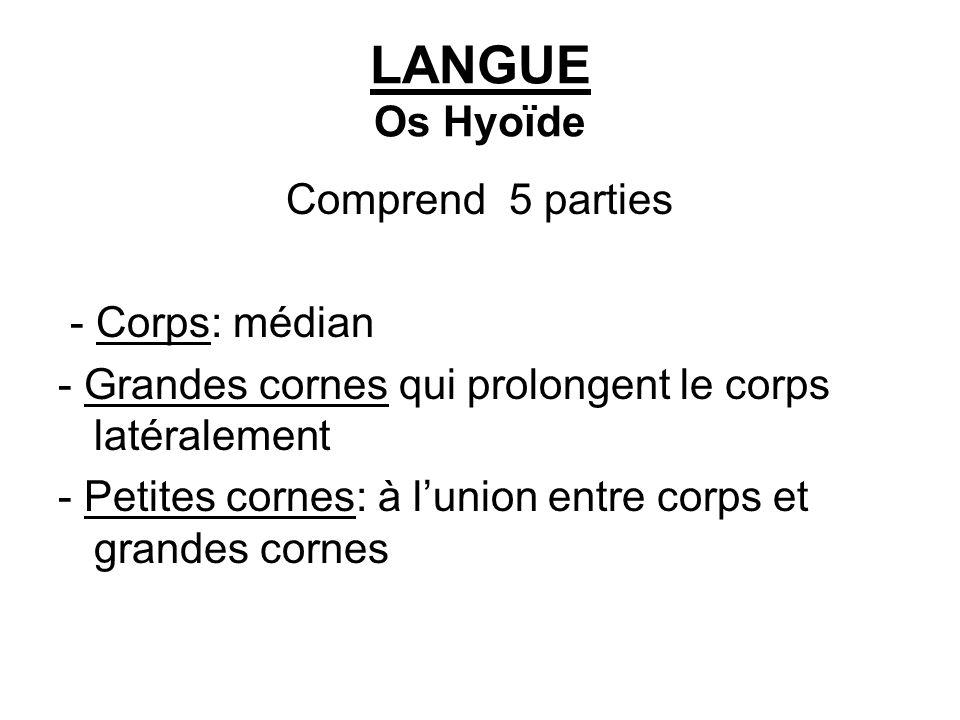 LANGUE Os Hyoïde Comprend 5 parties - Corps: médian - Grandes cornes qui prolongent le corps latéralement - Petites cornes: à lunion entre corps et gr