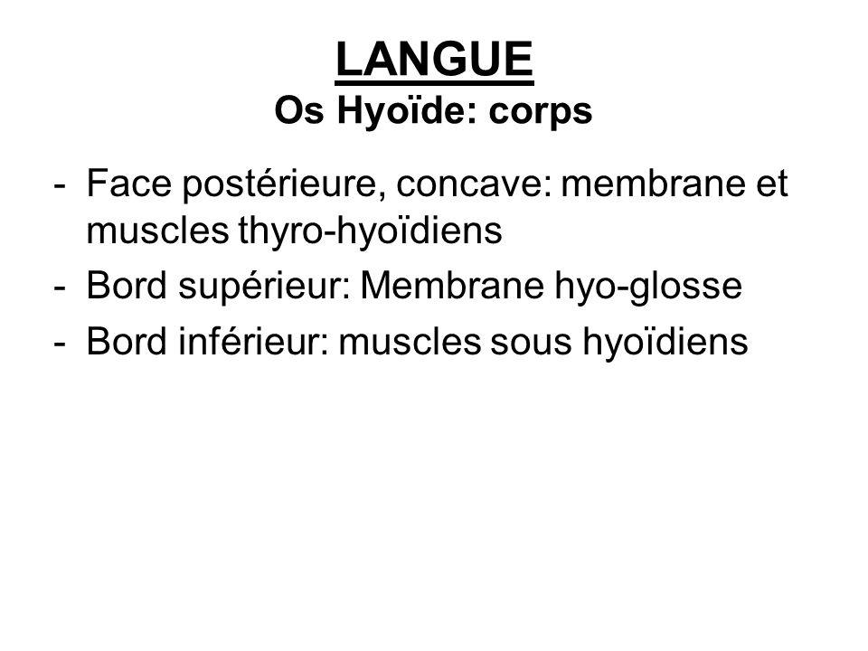LANGUE Os Hyoïde: corps -Face postérieure, concave: membrane et muscles thyro-hyoïdiens -Bord supérieur: Membrane hyo-glosse -Bord inférieur: muscles