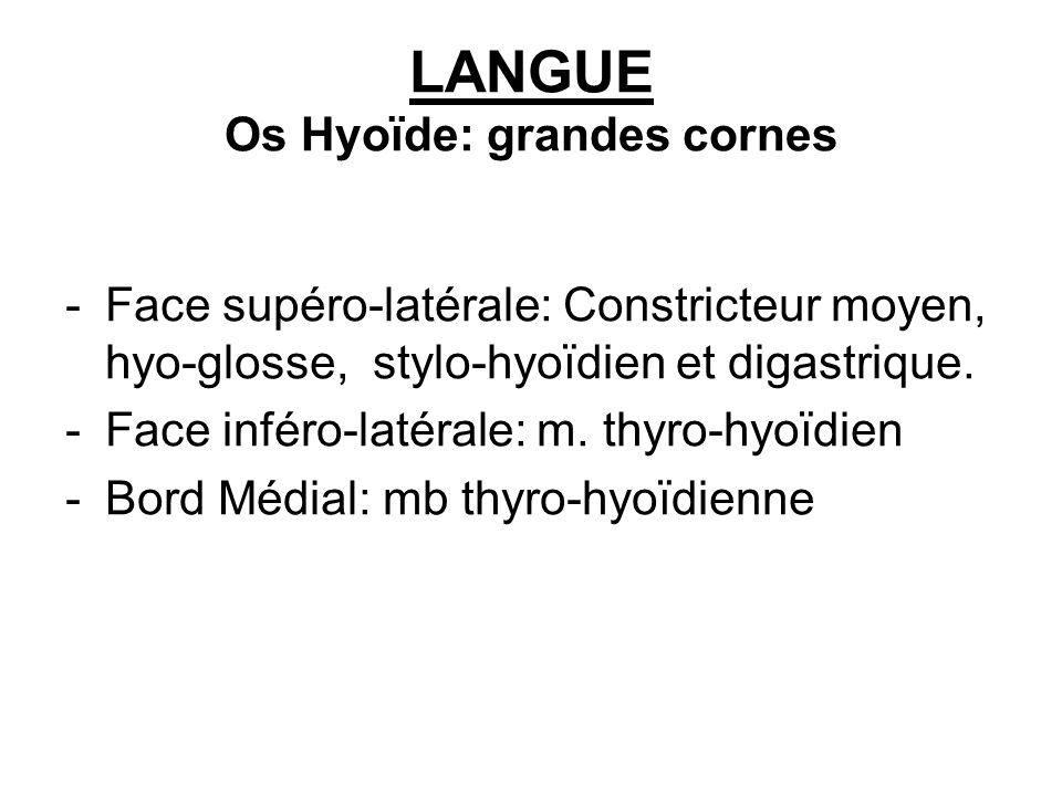 LANGUE Os Hyoïde: grandes cornes -Face supéro-latérale: Constricteur moyen, hyo-glosse, stylo-hyoïdien et digastrique. -Face inféro-latérale: m. thyro