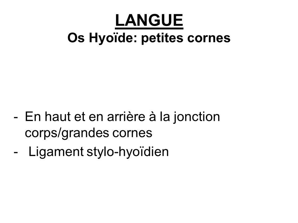LANGUE Os Hyoïde: petites cornes -En haut et en arrière à la jonction corps/grandes cornes - Ligament stylo-hyoïdien