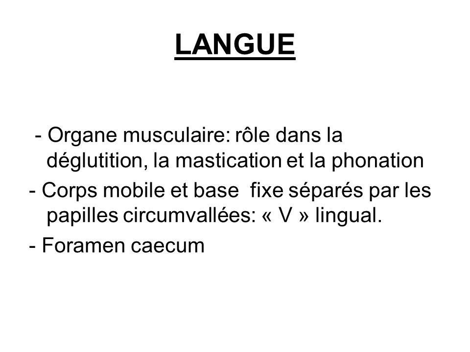 LANGUE - Organe musculaire: rôle dans la déglutition, la mastication et la phonation - Corps mobile et base fixe séparés par les papilles circumvallée