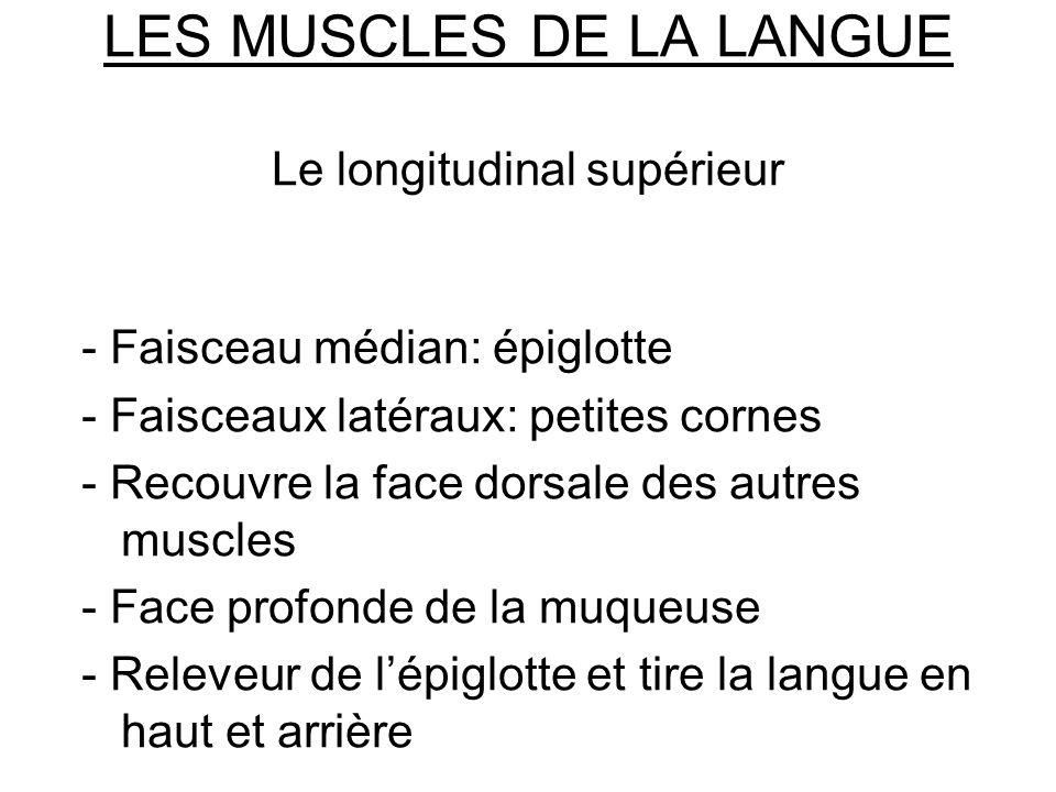 LES MUSCLES DE LA LANGUE Le longitudinal supérieur - Faisceau médian: épiglotte - Faisceaux latéraux: petites cornes - Recouvre la face dorsale des au