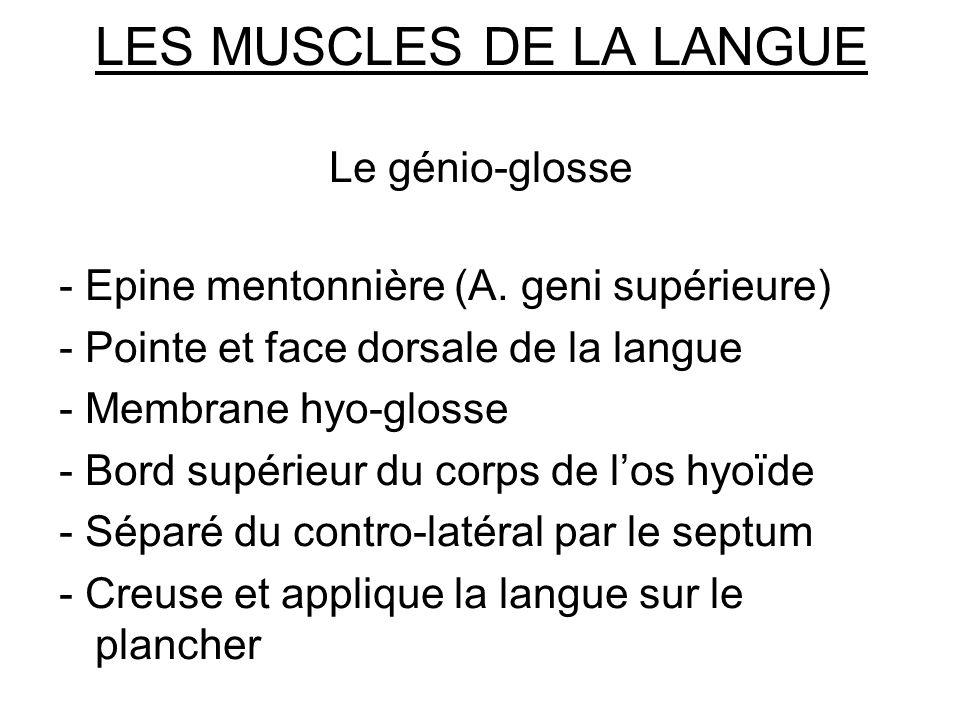 LES MUSCLES DE LA LANGUE Le génio-glosse - Epine mentonnière (A. geni supérieure) - Pointe et face dorsale de la langue - Membrane hyo-glosse - Bord s