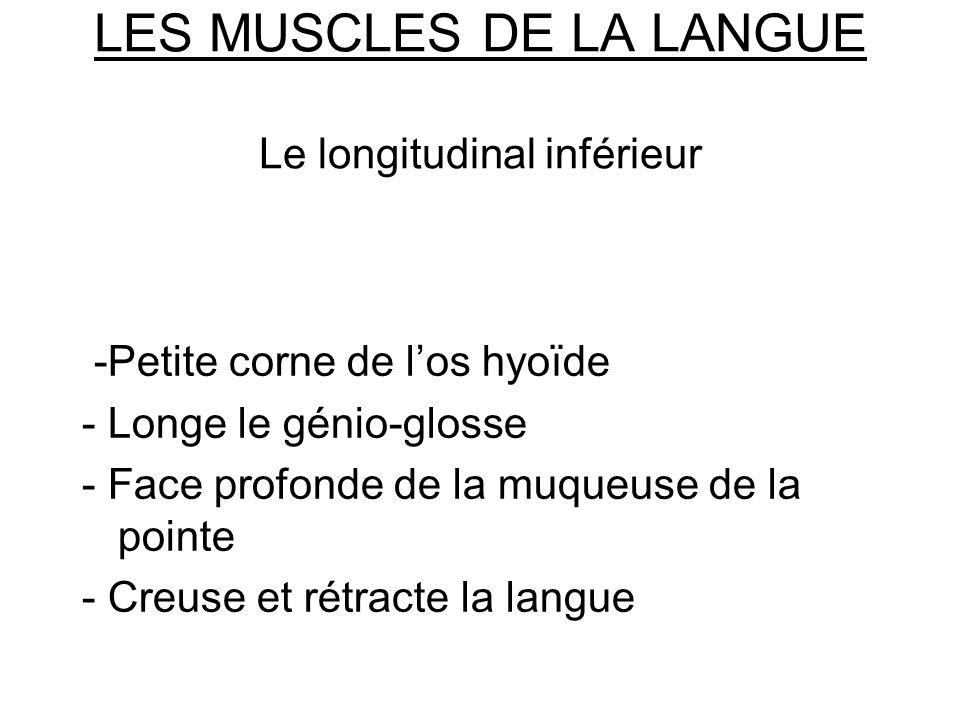 LES MUSCLES DE LA LANGUE Le longitudinal inférieur -Petite corne de los hyoïde - Longe le génio-glosse - Face profonde de la muqueuse de la pointe - C