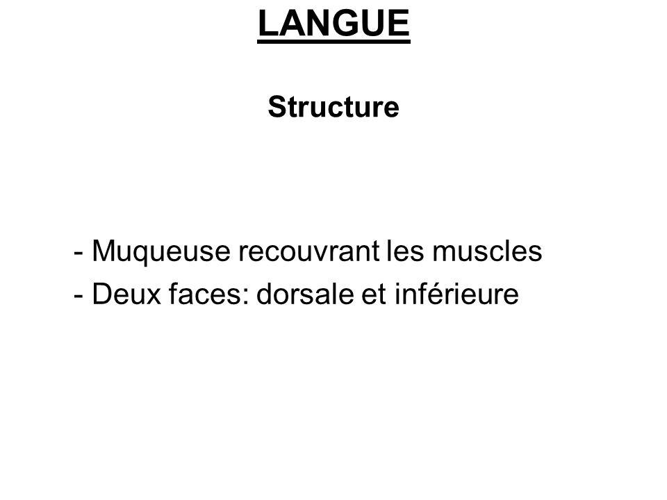 LANGUE Structure - Muqueuse recouvrant les muscles - Deux faces: dorsale et inférieure