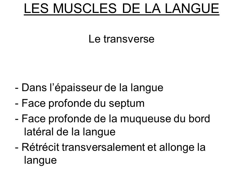 LES MUSCLES DE LA LANGUE Le transverse - Dans lépaisseur de la langue - Face profonde du septum - Face profonde de la muqueuse du bord latéral de la l