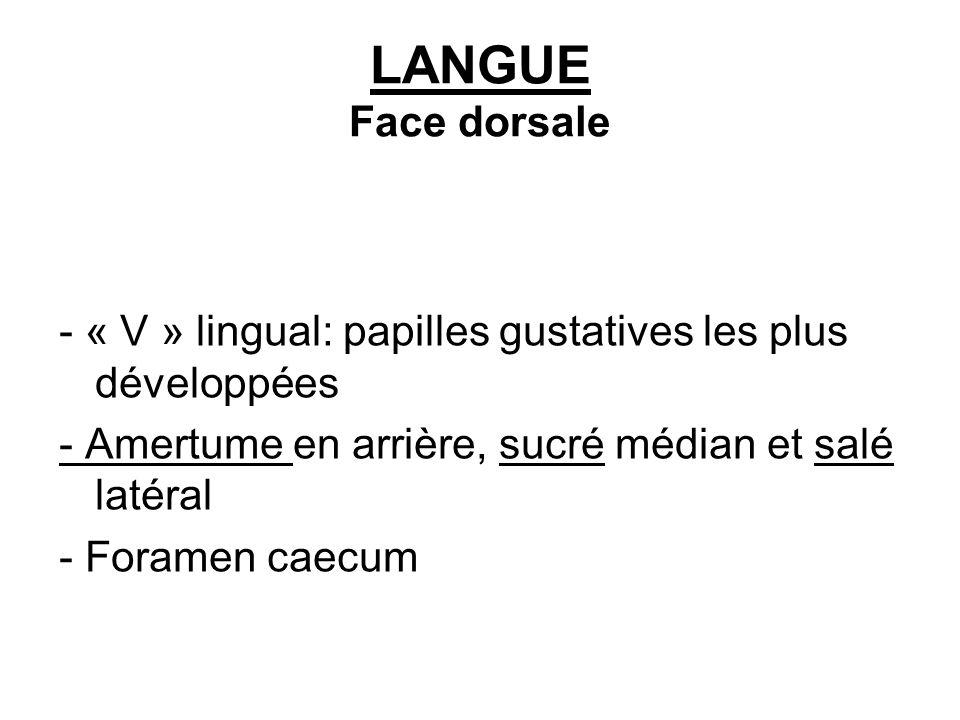 LANGUE Face dorsale - « V » lingual: papilles gustatives les plus développées - Amertume en arrière, sucré médian et salé latéral - Foramen caecum