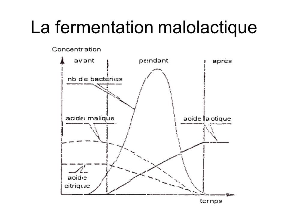 La fermentation malolactique