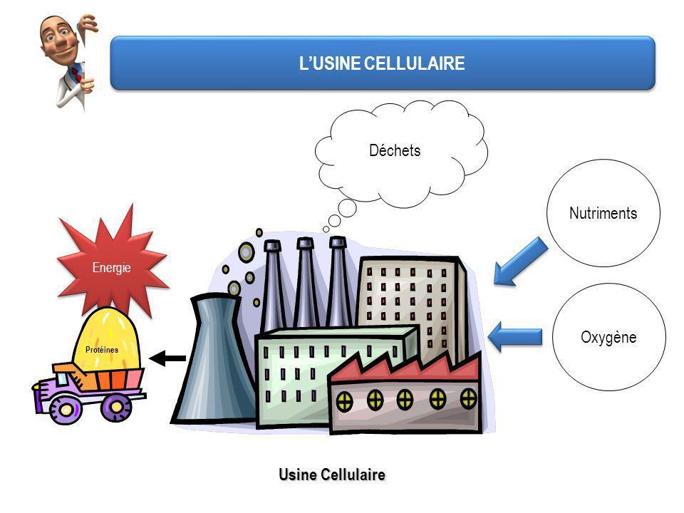 LUSINE CELLULAIRE Energie Usine Cellulaire Protéines Déchets NutrimentsOxygène