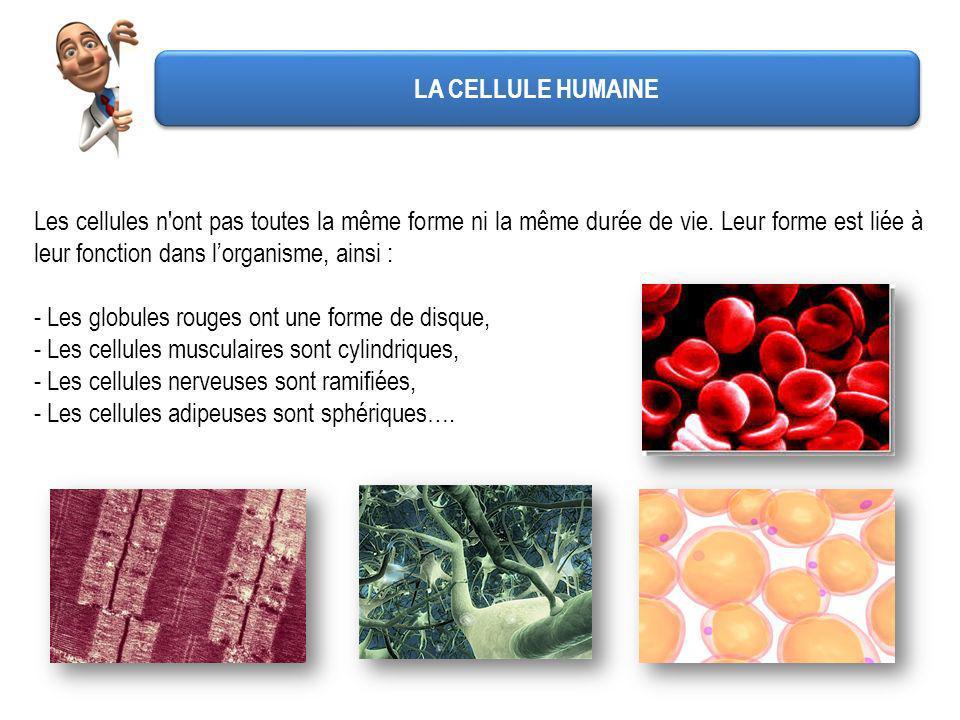 LA CELLULE HUMAINE Les cellules n'ont pas toutes la même forme ni la même durée de vie. Leur forme est liée à leur fonction dans lorganisme, ainsi : -