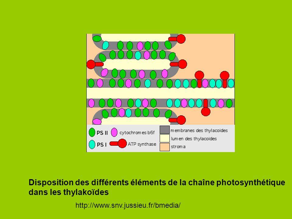 Disposition des différents éléments de la chaîne photosynthétique dans les thylakoïdes http://www.snv.jussieu.fr/bmedia/