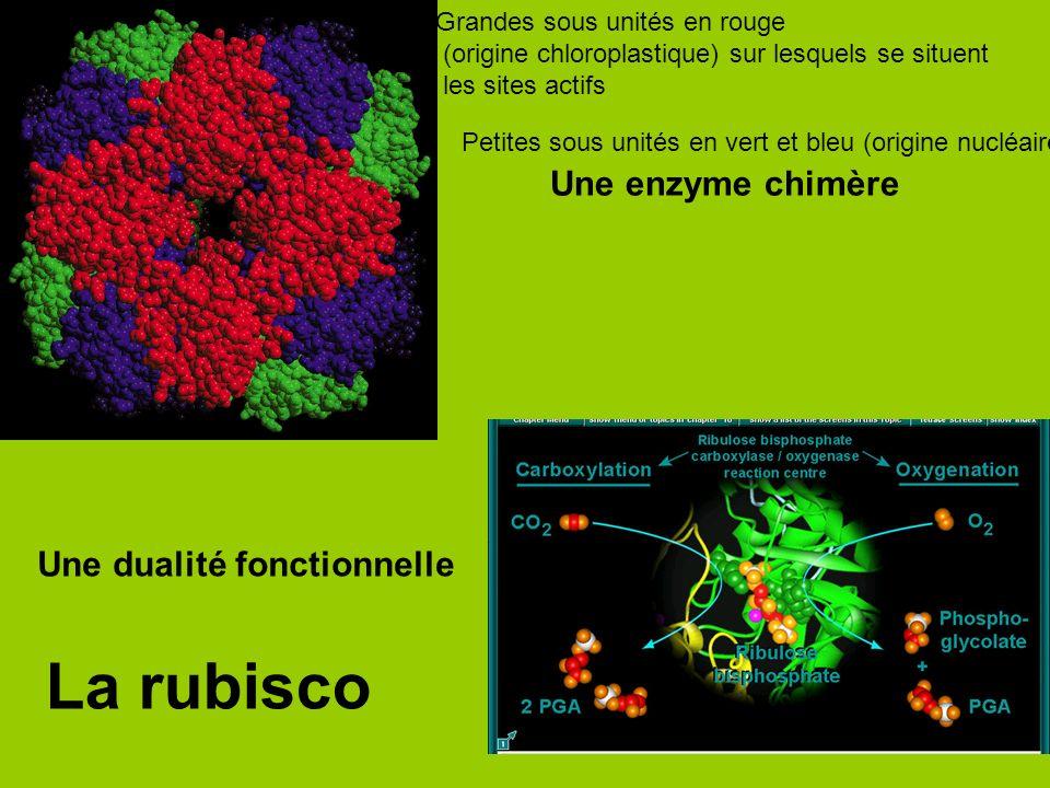 Grandes sous unités en rouge (origine chloroplastique) sur lesquels se situent les sites actifs Petites sous unités en vert et bleu (origine nucléaire