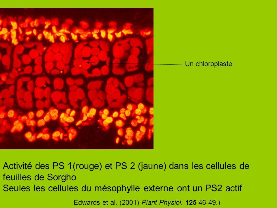 Activité des PS 1(rouge) et PS 2 (jaune) dans les cellules de feuilles de Sorgho Seules les cellules du mésophylle externe ont un PS2 actif Un chlorop