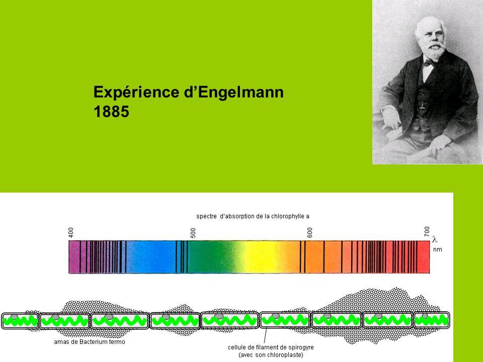 - seul le noyau tétrapyrrolique est représenté - la fonction carboxyle associée au noyau IV est estérifiée par un alcool à très longue chaîne en C20 : le phytol (non représenté ici) Spectre dabsorption des chlorophylles Spectre dabsorption des pigments Rappel: techniques de chromatographie des pigments en TP (voir le diaporama)