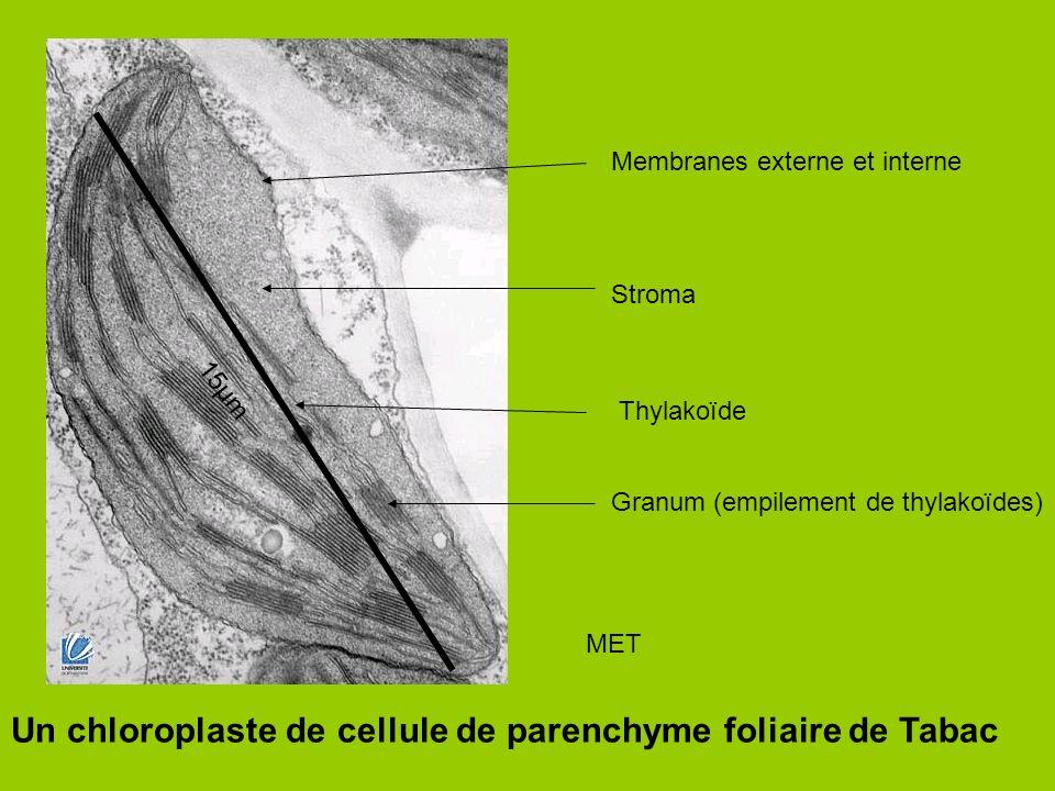 Un chloroplaste de cellule de parenchyme foliaire de Tabac Stroma Thylakoïde Granum (empilement de thylakoïdes) Membranes externe et interne MET 15μm