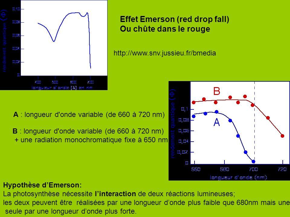 Effet Emerson (red drop fall) Ou chûte dans le rouge Hypothèse dEmerson: La photosynthèse nécessite linteraction de deux réactions lumineuses; les deu