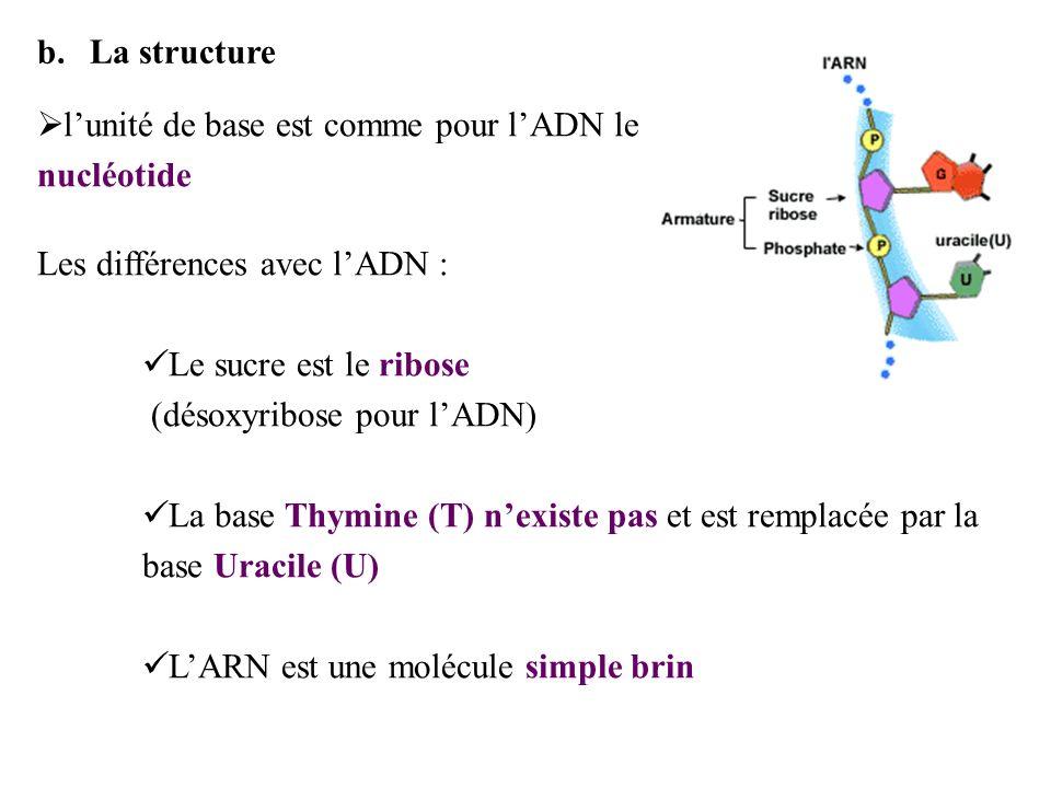 b.La structure lunité de base est comme pour lADN le nucléotide Les différences avec lADN : Le sucre est le ribose (désoxyribose pour lADN) La base Th
