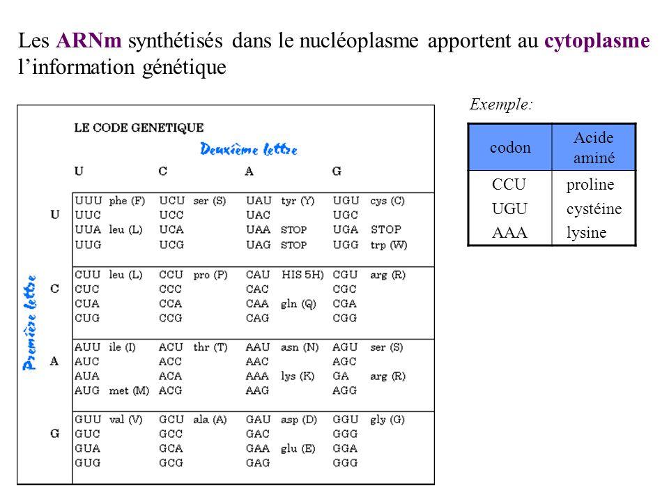 codon Acide aminé CCU UGU AAA proline cystéine lysine Exemple: Les ARNm synthétisés dans le nucléoplasme apportent au cytoplasme linformation génétiqu