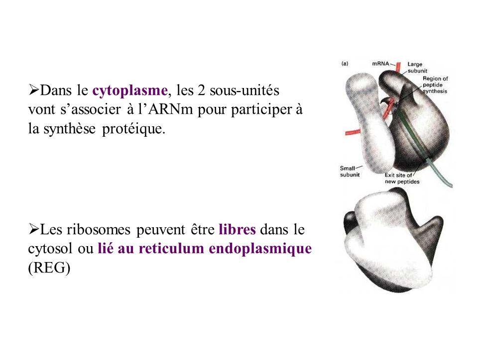 Dans le cytoplasme, les 2 sous-unités vont sassocier à lARNm pour participer à la synthèse protéique. Les ribosomes peuvent être libres dans le cytoso