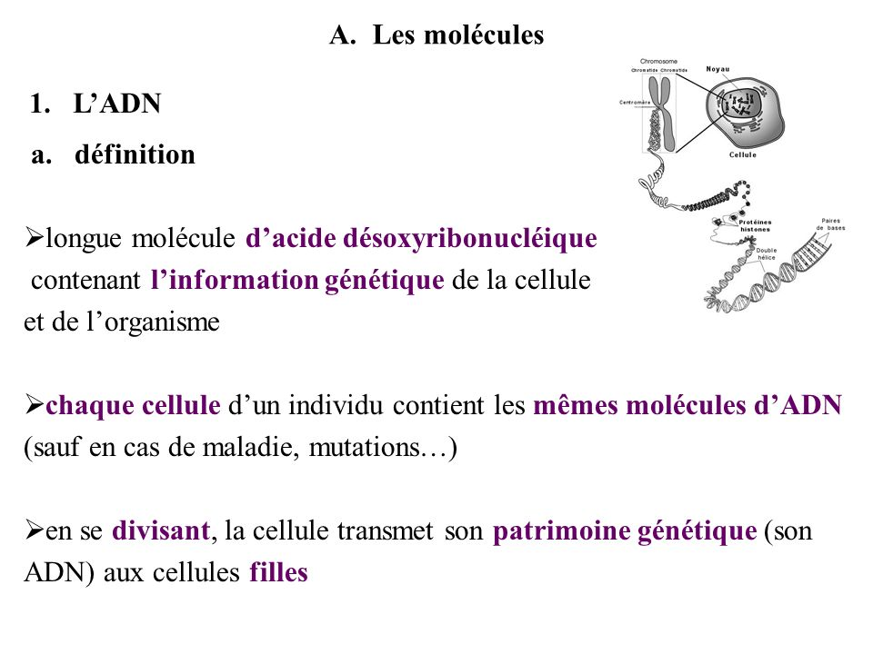 A.Les molécules 1.LADN a.définition longue molécule dacide désoxyribonucléique contenant linformation génétique de la cellule et de lorganisme chaque