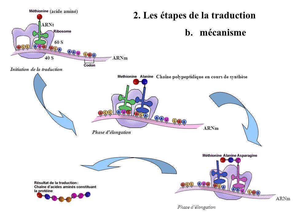 Initiation de la traduction ARNm ARNt (acide aminé) 60 S 40 S Phase délongation ARNm Chaîne polypeptidique en cours de synthèse Phase délongation ARNm