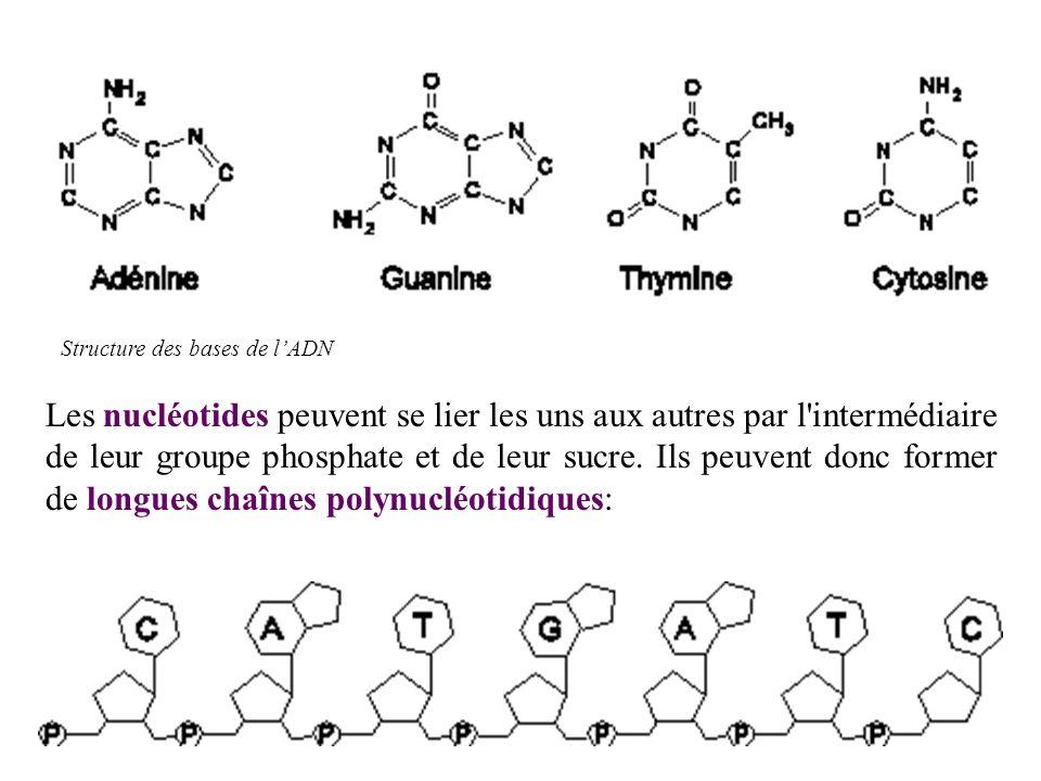 LADN est constitué de deux chaînes polynucléotidiques enroulées lune autour de lautre : double hélice (structure bicaténaire) Les 2 chaînes de lhélice sont reliées lune à l autre: il se forme des liaisons faibles entre les nucléotides A et T et entre les C et G