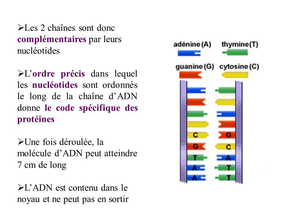 c.La fonction LADN est le support de linformation génétique de la cellule les gènes sont des facteurs héréditaires qui sont responsables des caractères phénotypiques de l individu (à un caractère peut être associés plusieurs gènes) le génome humain a été séquencé en 2001, on considère quil est constitué denviron 30 000 gènes les gènes (fragments d ADN) sorganisent en une succession dunités de bases: les codons (triplet de nucléotides) les gènes contiennent les instructions permettant aux cellules de polymériser les acides aminés dans un ordre bien précis et de synthétiser ainsi des protéines spécifiques