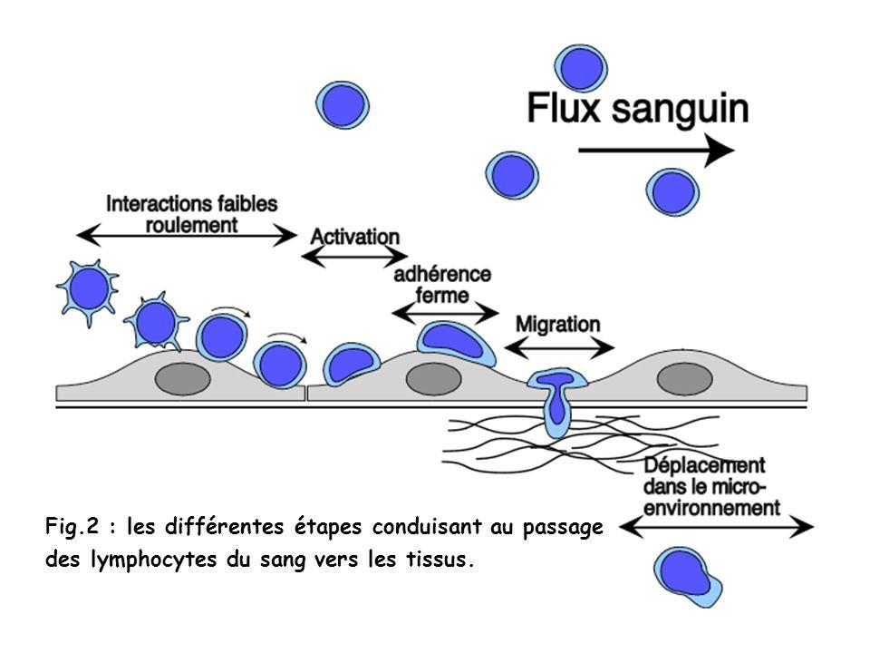 Fig.2 : les différentes étapes conduisant au passage des lymphocytes du sang vers les tissus.