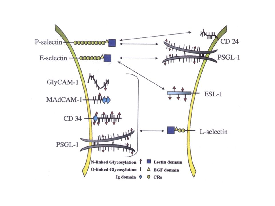 Selectins L-selectin (CD62L)homing toLN andPP E-selectin (CD62E)homing of memory and effector cells to skin and sites of inflammation P-selectin (CD62P)homing of memory and effector cells (Th1) to sites of inflammation Adhesion MoleculeRole inT-cell migration