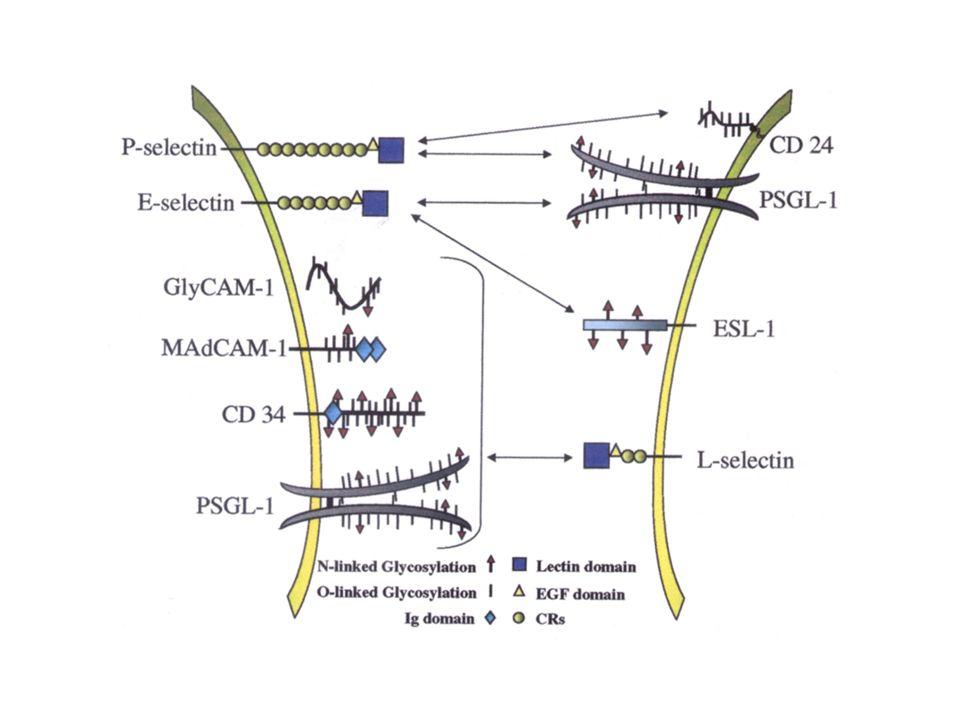 Les Chimiokines (ou cytokines chimiotactiques) Elles permettent dactiver les intégrines et dinduire une adhérence forte Elles permettent de contrôler la circulation des leucocytes dans les tissus (par exemple létude des souris déficientes en SDF-1 montrent son rôle critique dans la migration des précurseurs myéloïdes du foie foetal vers la moelle osseuse) Au cours de linflammation la sécrétion de chimiokines est augmentée considérablement et permet lafflux des leucocytes dans les tissus inflammatoires.