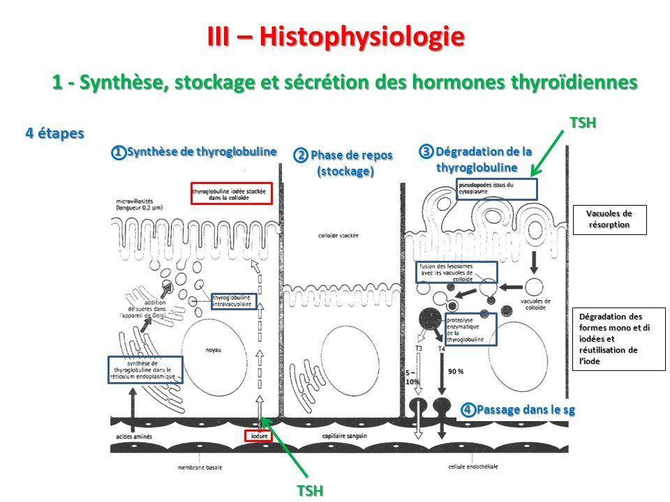 III – Histophysiologie 4 étapes 2 3 1 Synthèse de thyroglobuline 2 Phase de repos (stockage) 3 Dégradation de la thyroglobuline 4 Passage dans le sg T