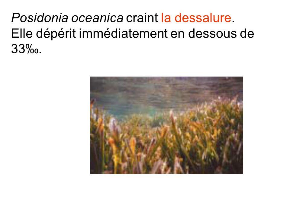 Posidonia oceanica craint la dessalure. Elle dépérit immédiatement en dessous de 33.
