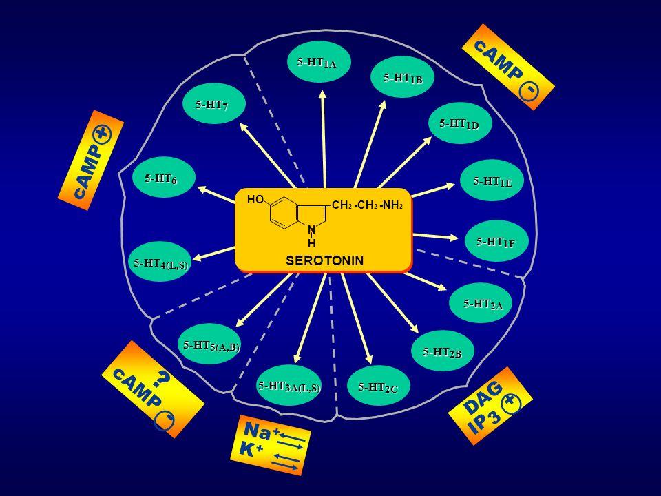 cAMP - DAG IP 3 + ? cAMP - Na + K + 5-HT 6 5-HT 1A 5-HT 1E 5-HT 3A(L,S) 5-HT 5(A,B) 5-HT 7 5-HT 4(L,S) 5-HT 2A cAMP + 5-HT 1B 5-HT 1D 5-HT 1F 5-HT 2C