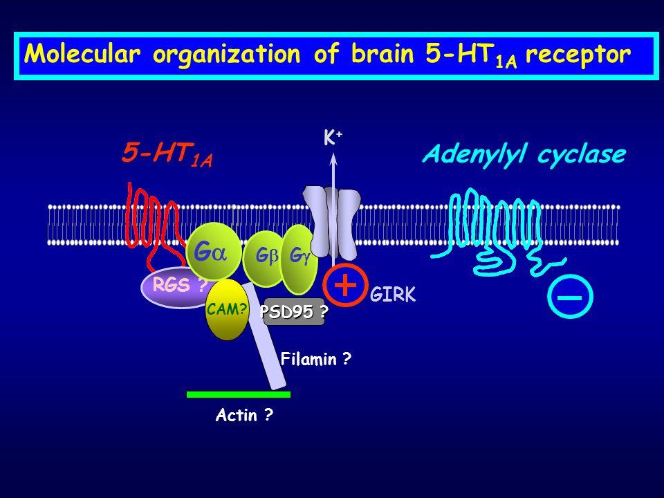 Molecular organization of brain 5-HT 1A receptor G 5-HT 1A G RGS ? CAM? G Actin ? Filamin ? K+K+ Adenylyl cyclase GIRK PSD95 ?