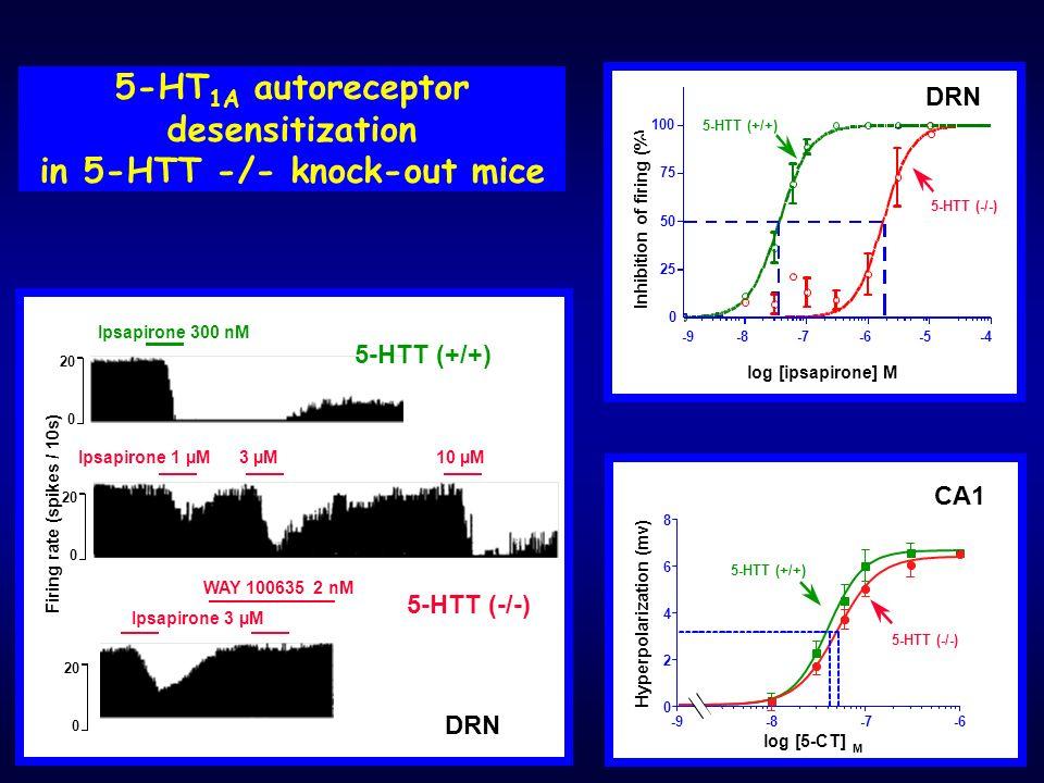 5-HT 1A autoreceptor desensitization in 5-HTT -/- knock-out mice -9-8-7-6 2 4 6 8 Hyperpolarization (mv) log [5-CT] M 5-HTT (-/-) 5-HTT (+/+) CA1 0 -4