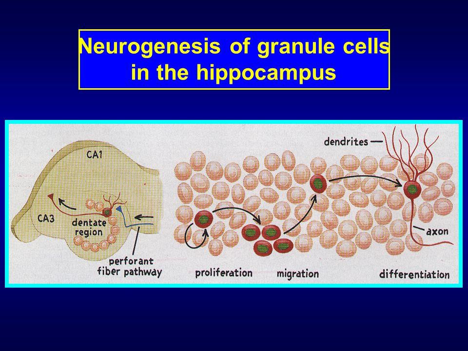 Neurogenesis of granule cells in the hippocampus
