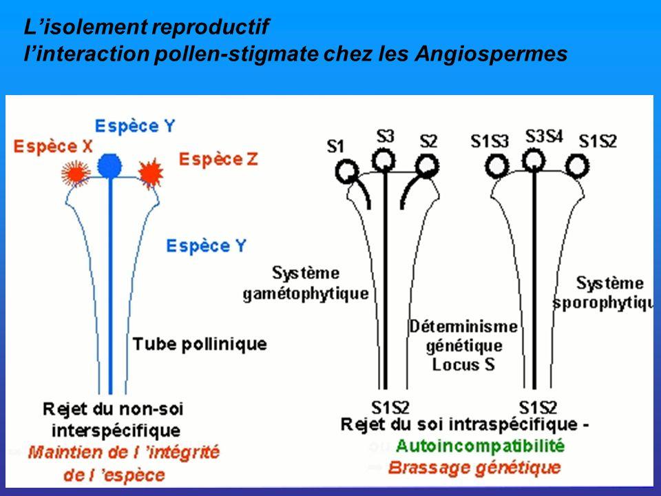 Lisolement reproductif linteraction pollen-stigmate chez les Angiospermes