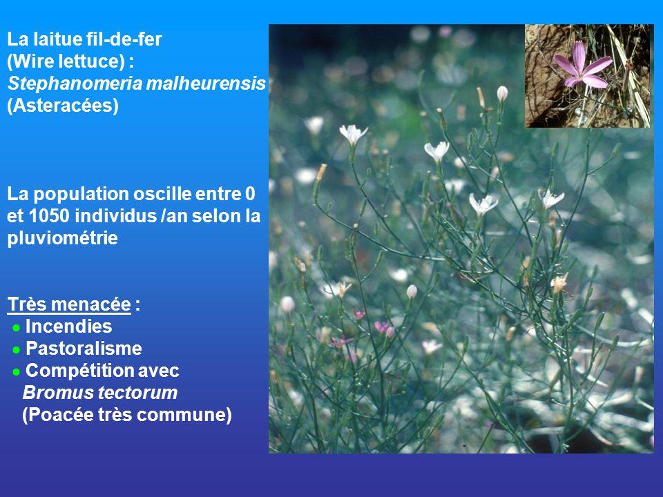 La laitue fil-de-fer (Wire lettuce) : Stephanomeria malheurensis (Asteracées) La population oscille entre 0 et 1050 individus /an selon la pluviométri