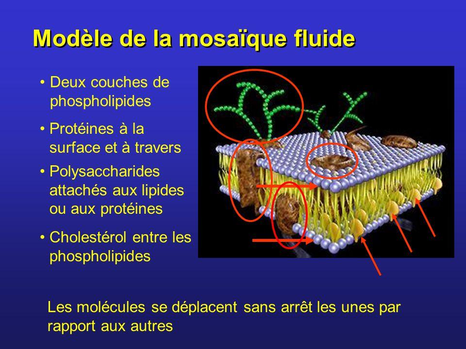 Modèle de la mosaïque fluide Deux couches de phospholipides Les molécules se déplacent sans arrêt les unes par rapport aux autres Protéines à la surfa