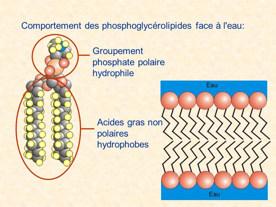 Comportement des phosphoglycérolipides face à l'eau: Groupement phosphate polaire hydrophile Acides gras non polaires hydrophobes