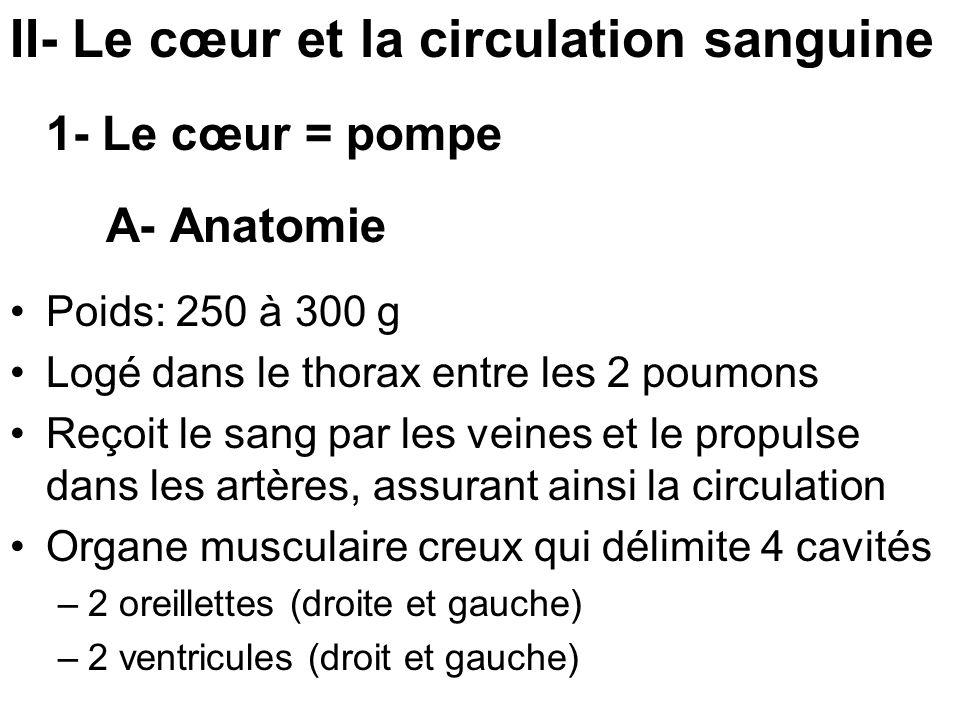 II- Le cœur et la circulation sanguine 1- Le cœur = pompe A- Anatomie Poids: 250 à 300 g Logé dans le thorax entre les 2 poumons Reçoit le sang par le
