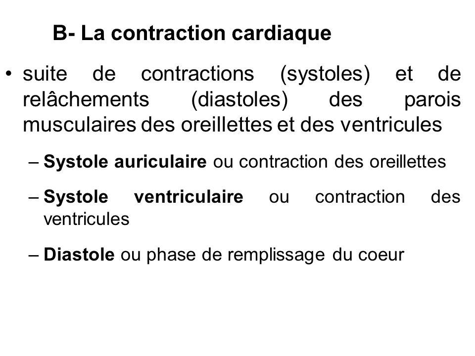 B- La contraction cardiaque suite de contractions (systoles) et de relâchements (diastoles) des parois musculaires des oreillettes et des ventricules